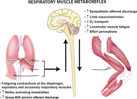 Fatiga muscular respiratoria inducida por el ejercicio físico: implicaciones para el rendimiento